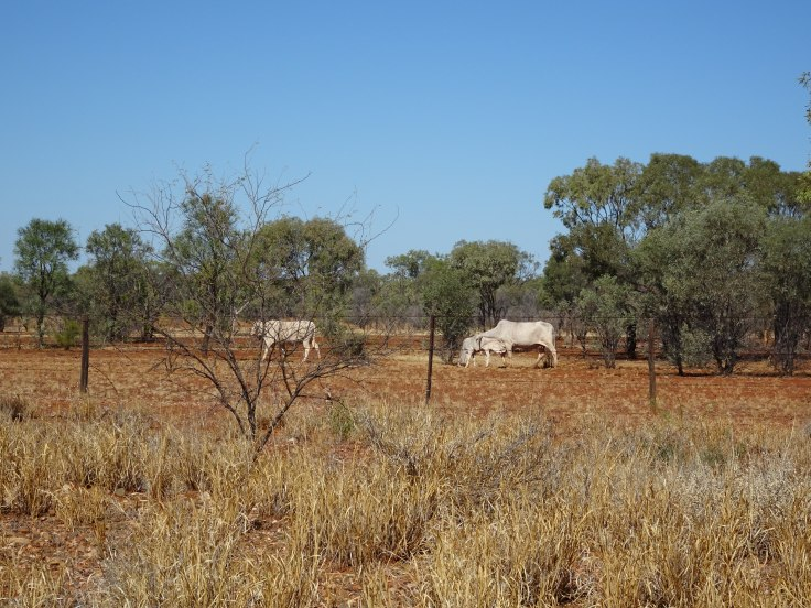 Cows - Cloncurry Road